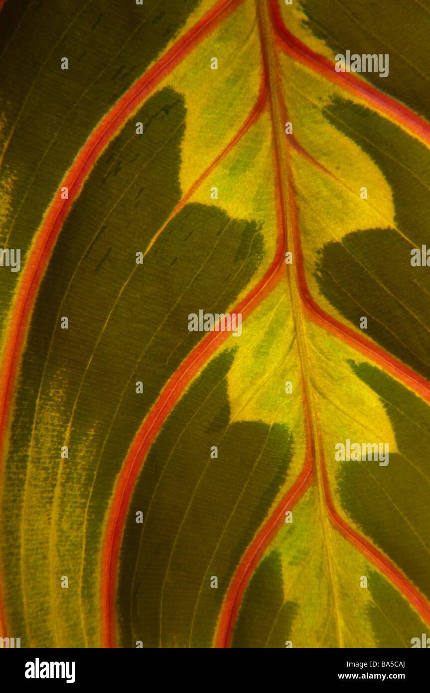 Close-up of Marantaceae (prayer plant) leaf - Stock Image