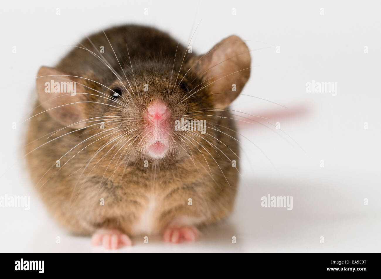 House Mouse Mus musculus Stock Photo