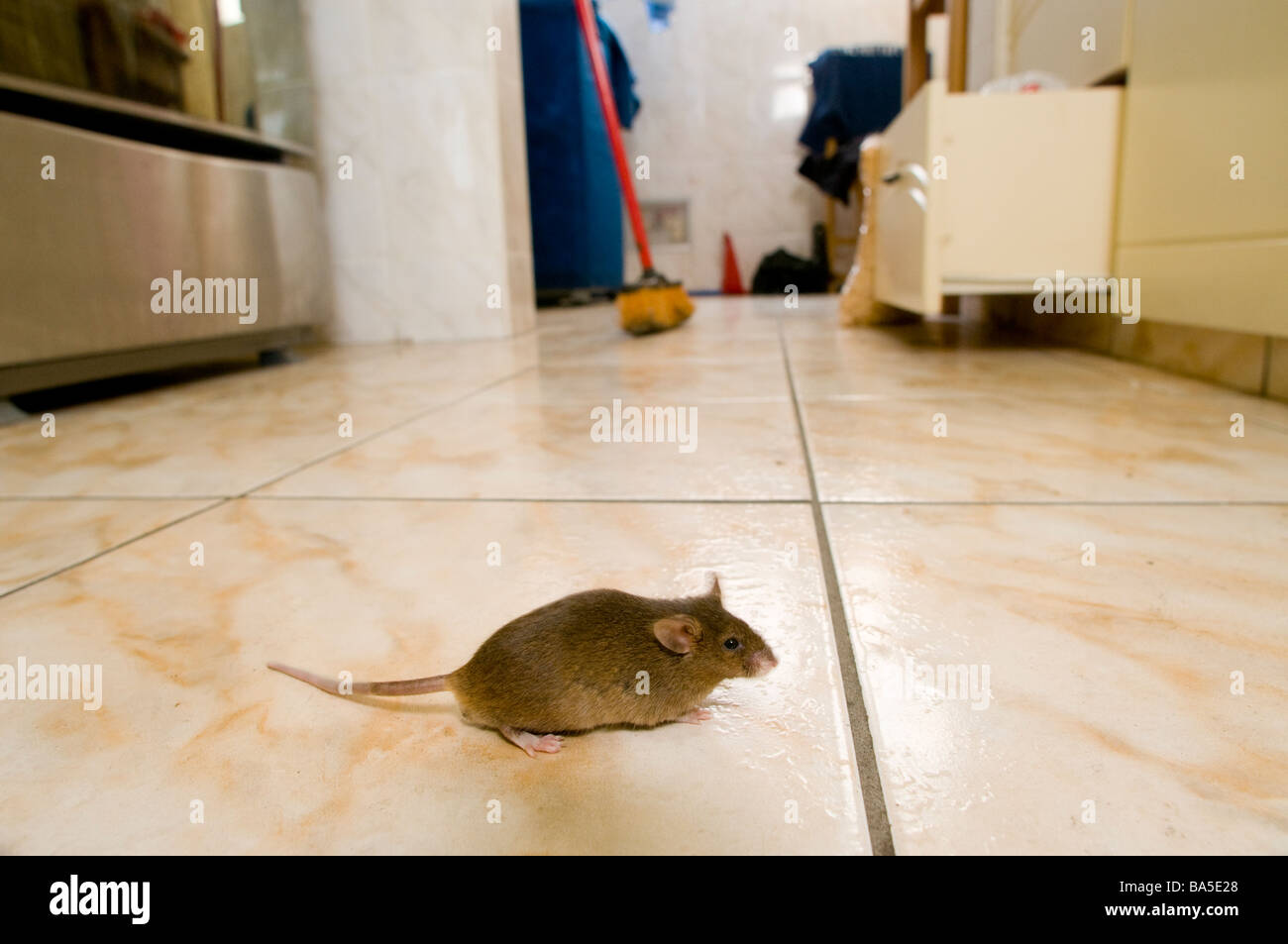 Mouse In Kitchen Stock Photo 23477728 Alamy