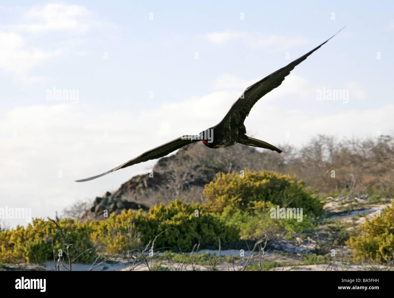 Magnificent Frigatebird, Fregata magnificens, Fregatidae Stock Photo