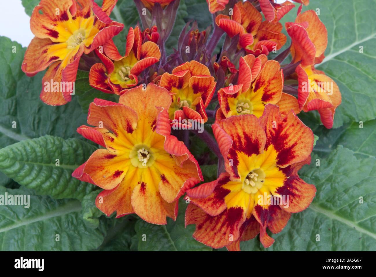 Close up of a Primula Castillian Stock Photo