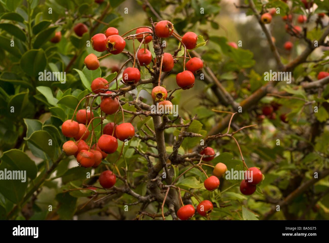 Firethorn Pyracantha coccinea, Rosaceae, Capraia Island, Tuscany, Italy Stock Photo