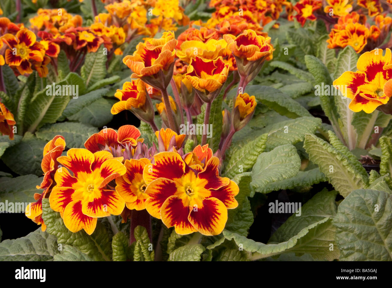 Close up of a Primula Castillian Stock Photo