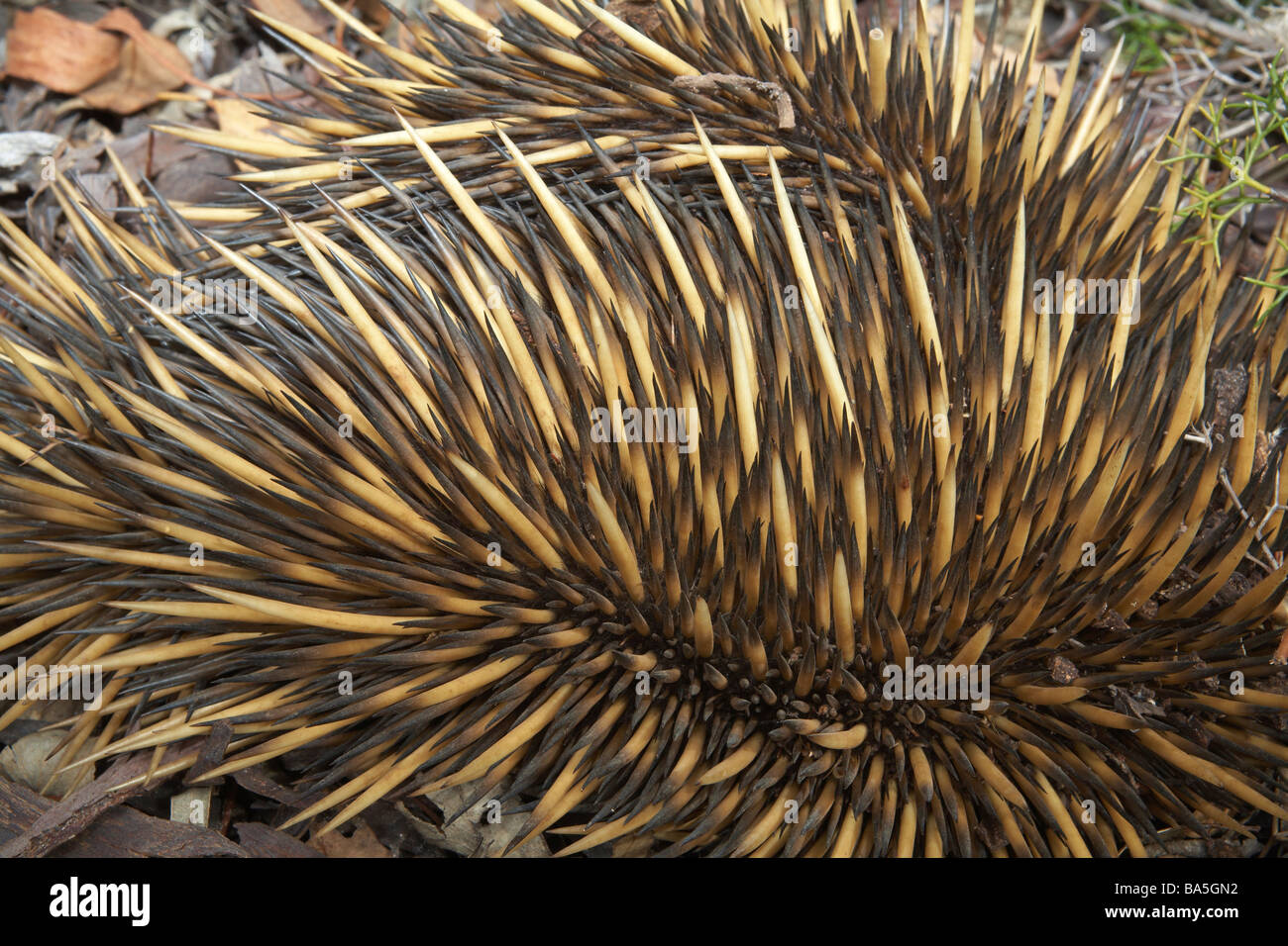 Abstract study of the spines or quills on an Australian Echidna. Tachyglossus aculeatus Stock Photo