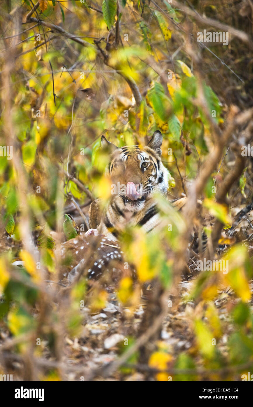 Wild Royal Bengal indian tiger eating kill of spotted deer Chital Axis Axis in thick undergrowth Bandhavgarh National - Stock Image
