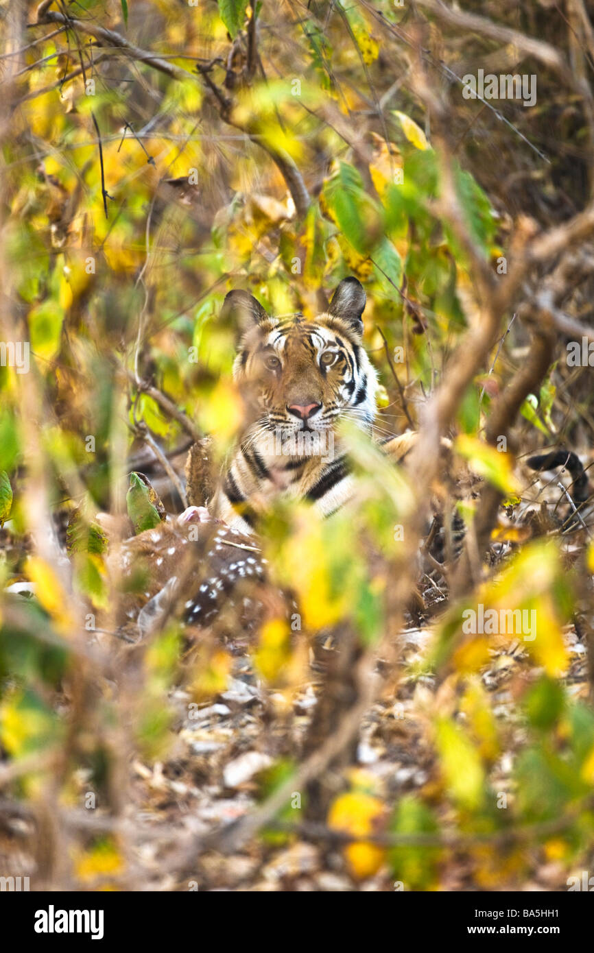 Wild Royal Bengal indian tiger eating kill of spotted deer or Chital Axis Axis in thick undergrowth Bandhavgarh - Stock Image