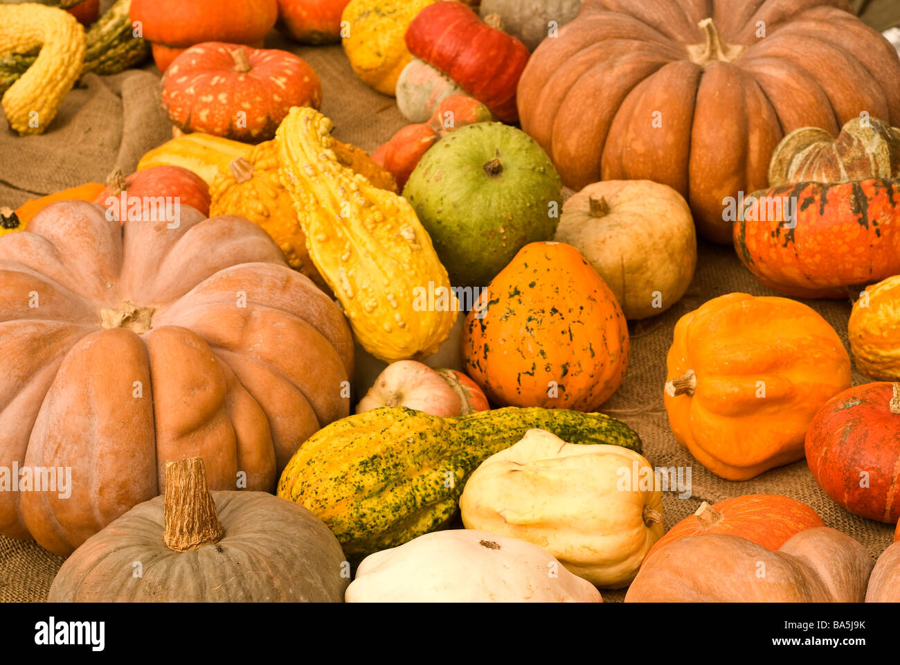 Pumpkins gourd-like squash of the genus Cucurbita - Stock Image