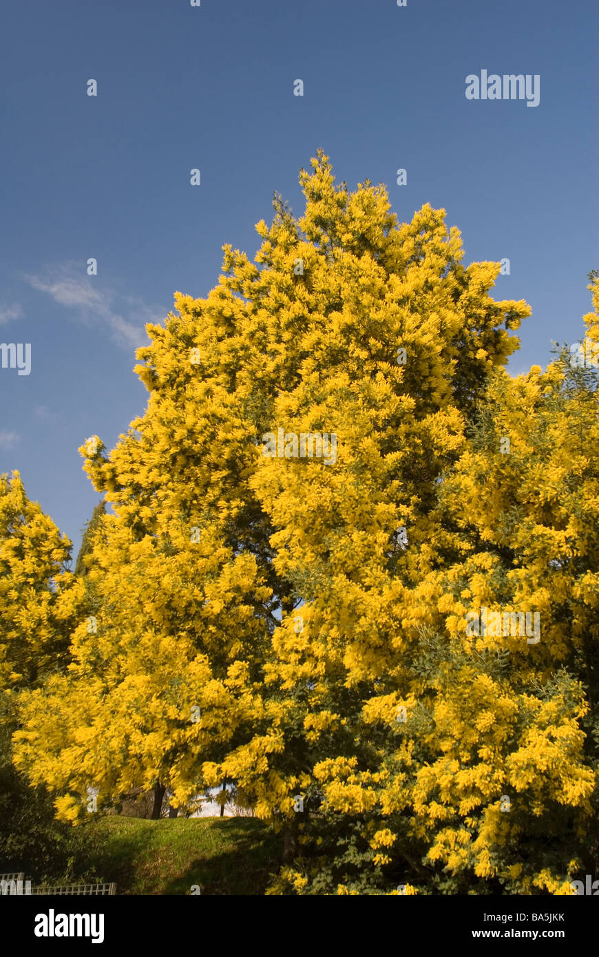 Silver Wattle, Acacia dealbata, mimosa, Fabaceae from Australia - Stock Image