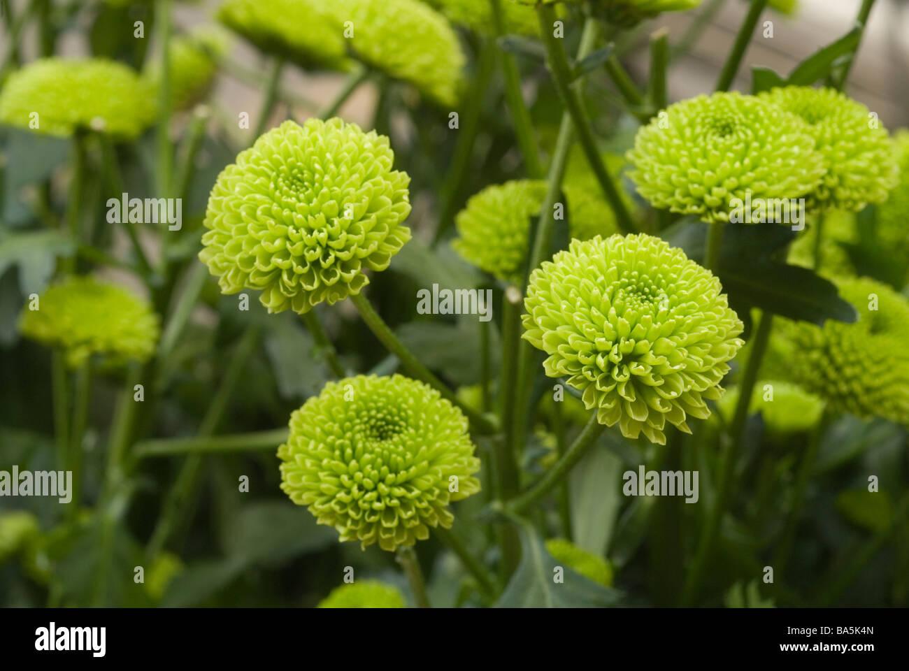 Top Chrysanthemum Indicum Stock Photos & Chrysanthemum Indicum Stock @TH_97