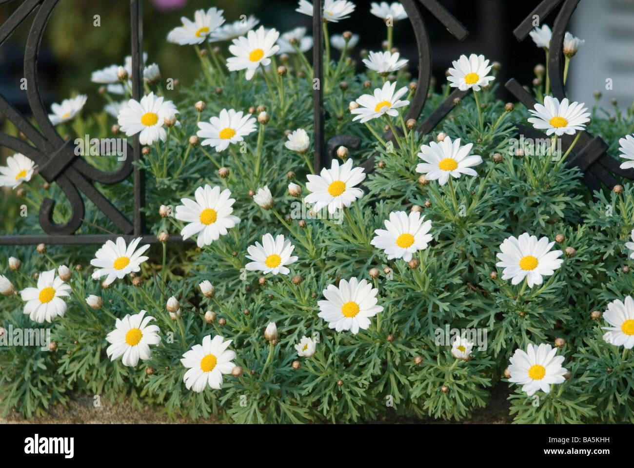 Chamomile Anthemis sp., Asteraceae - Stock Image