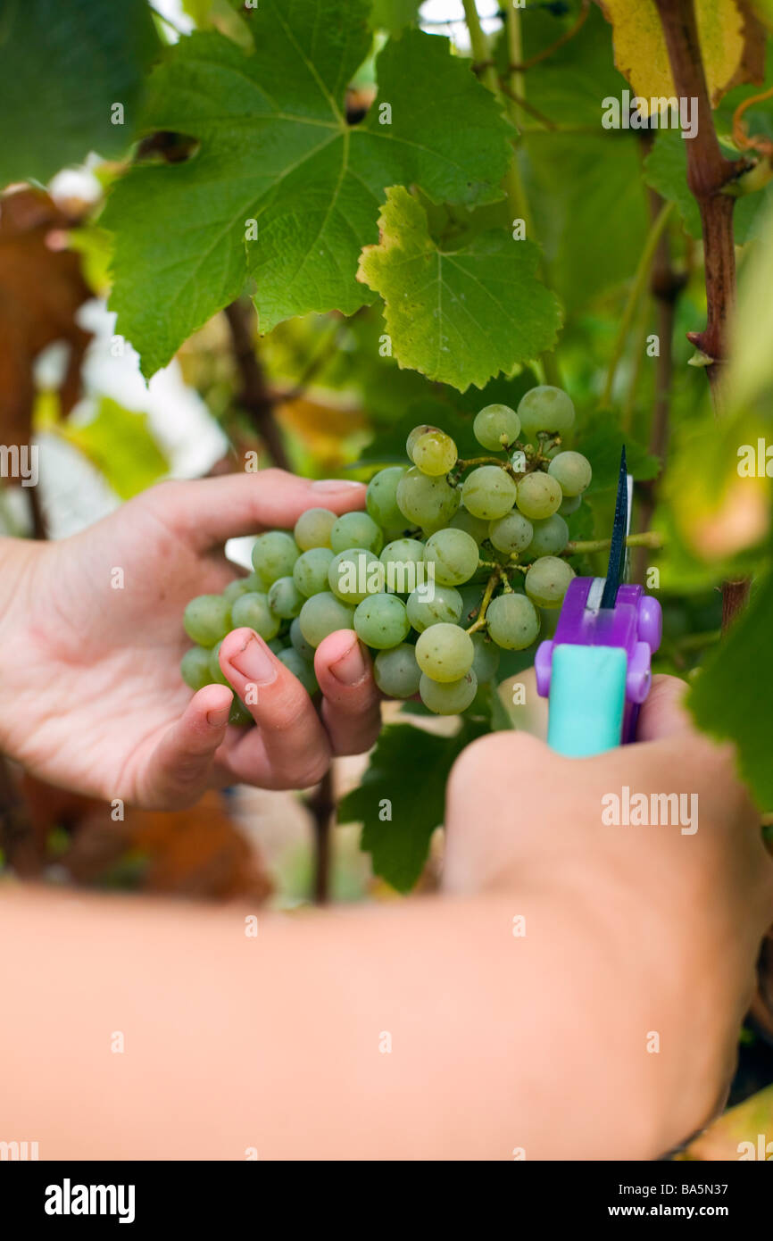 Workers harvest grapes by hand at Wilyabrup in the renowned wine region of Margaret River, Western Australia, AUSTRALIA - Stock Image