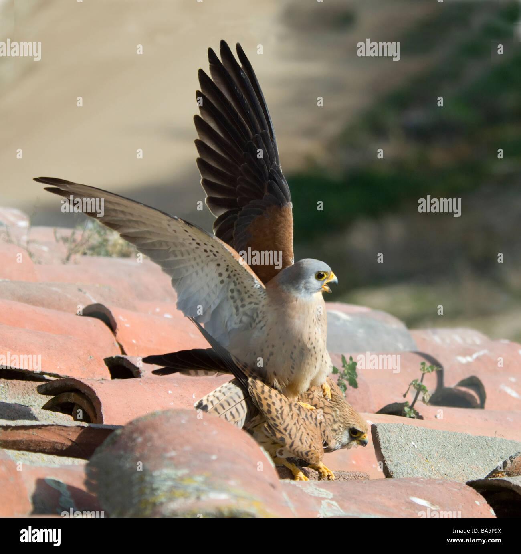 Pair of Lesser Kestrels mating (Falco naumanni), Extremadura, Spain - Stock Image