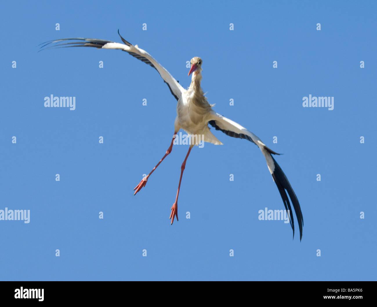 White Stork Ciconia ciconia Extremadura Spain Stock Photo