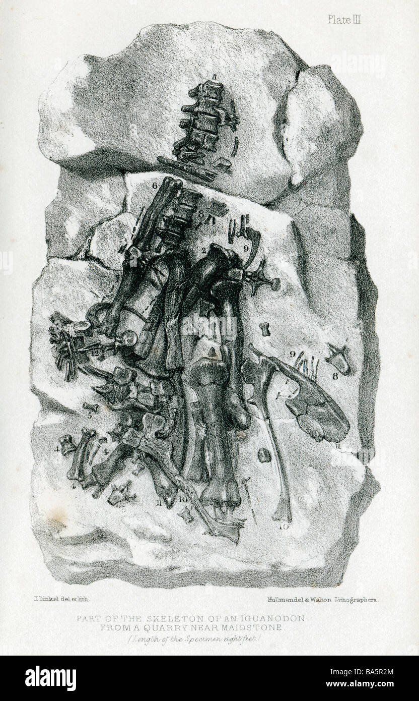 Iguanodon Fossil engraving of the discovery by Gideon Mantell in a quarry near Maidstone Kent in 1834 - Stock Image