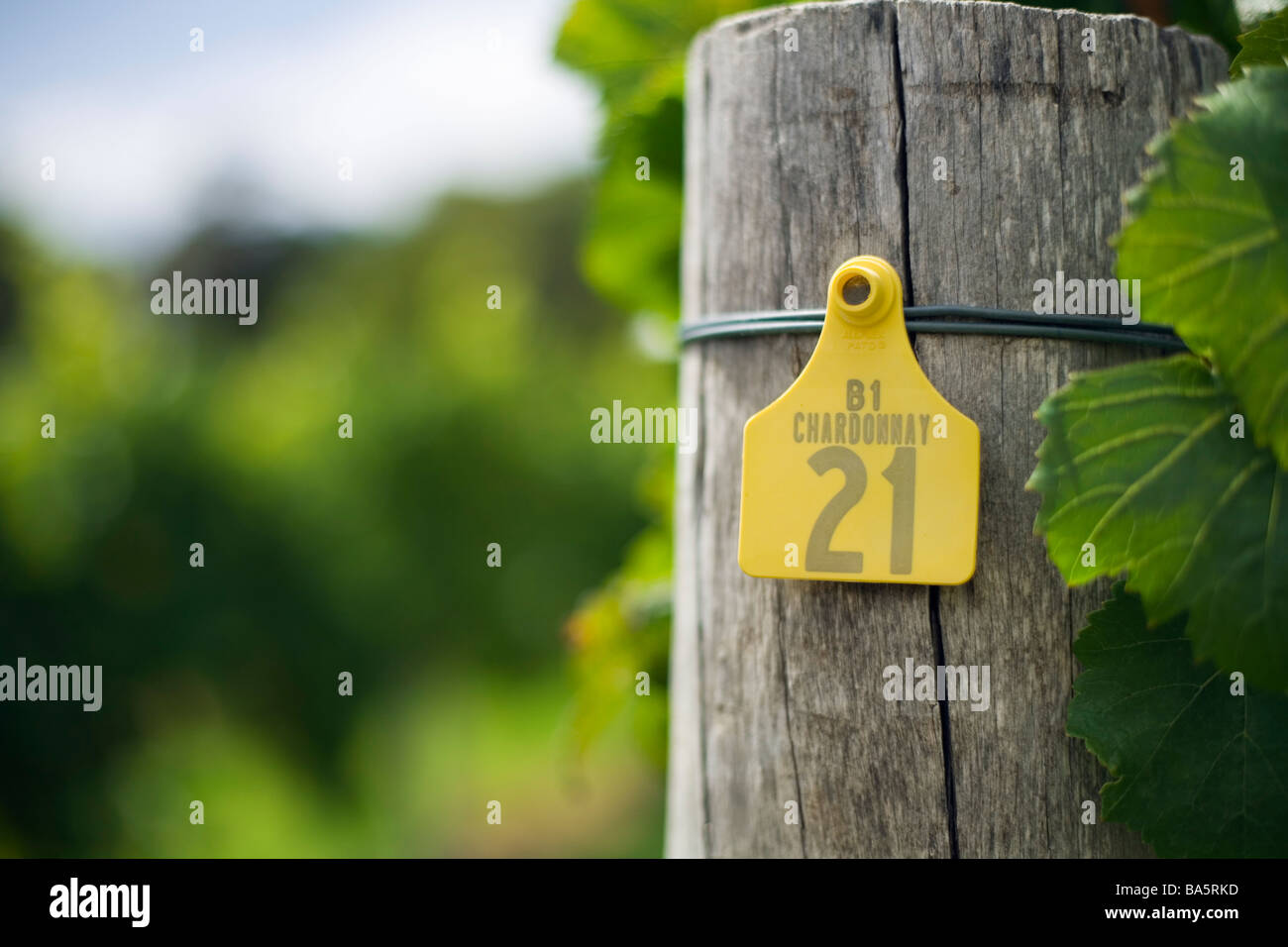 Chardonnay grape vines in the renowned wine region of Margaret River, Western Australia, AUSTRALIA - Stock Image