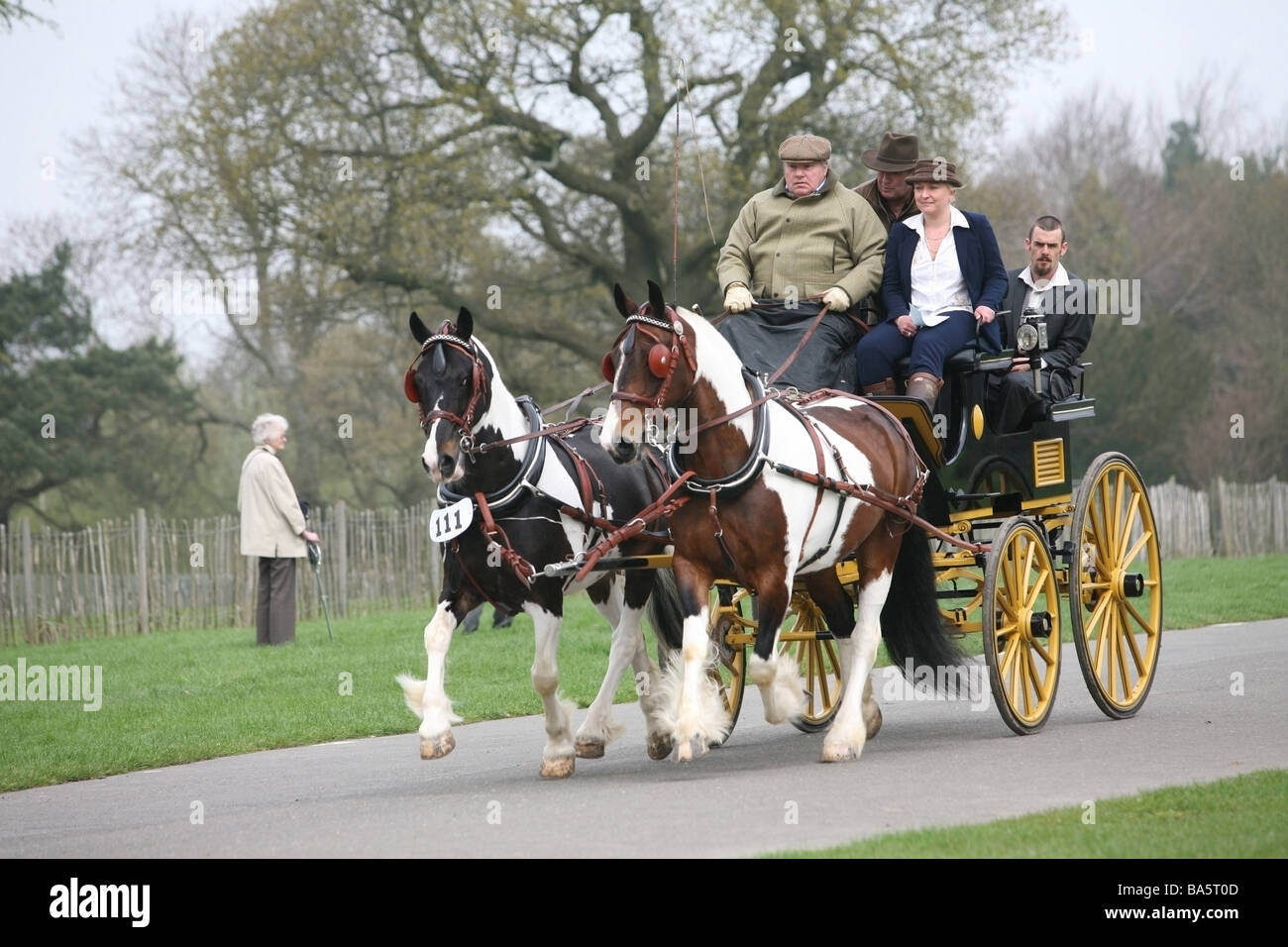 Horses pulling a carriage at the London Harness Horse Parade - Stock Image