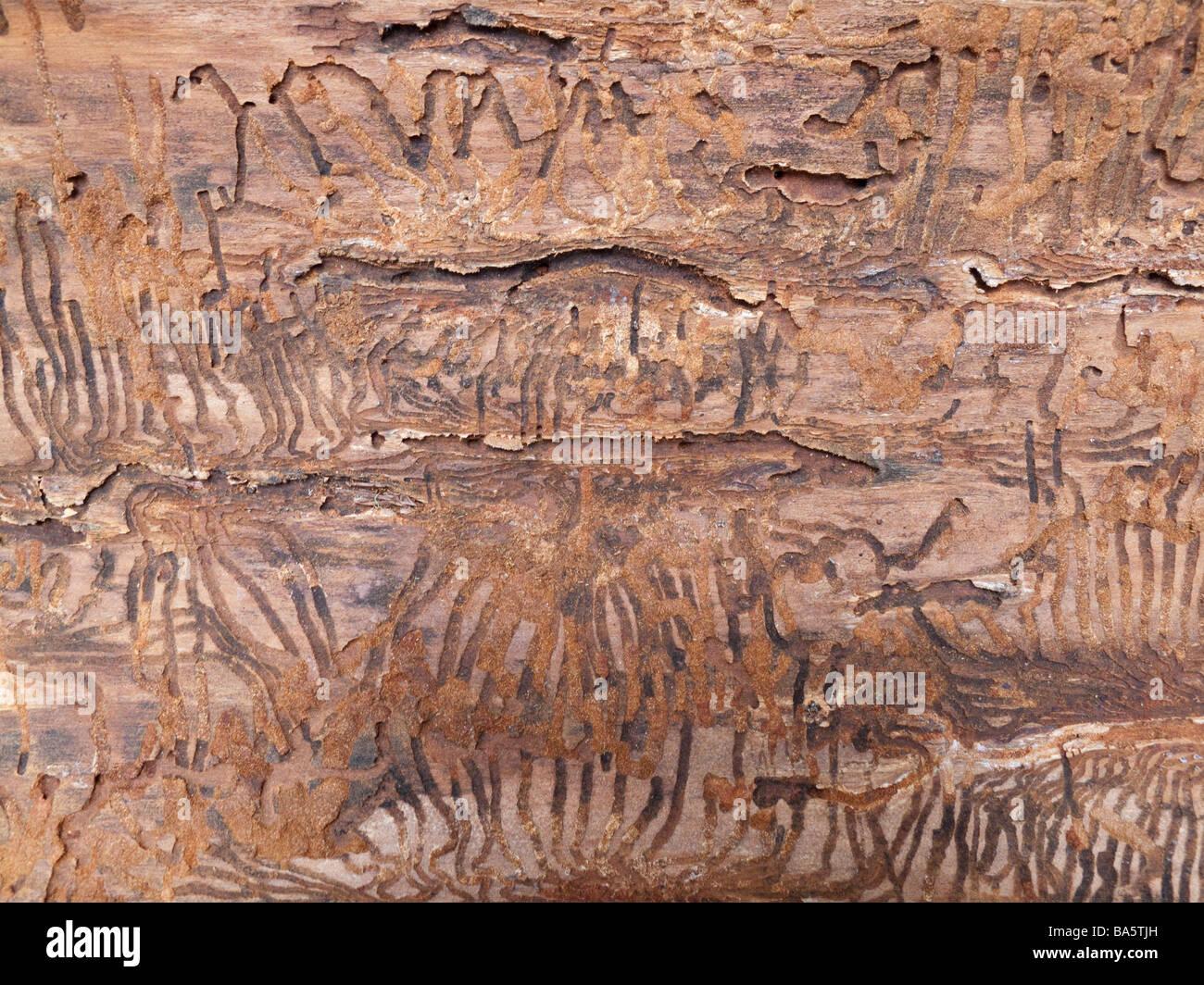 Tracks in bark from Douglas fir Bark Beetle - Stock Image
