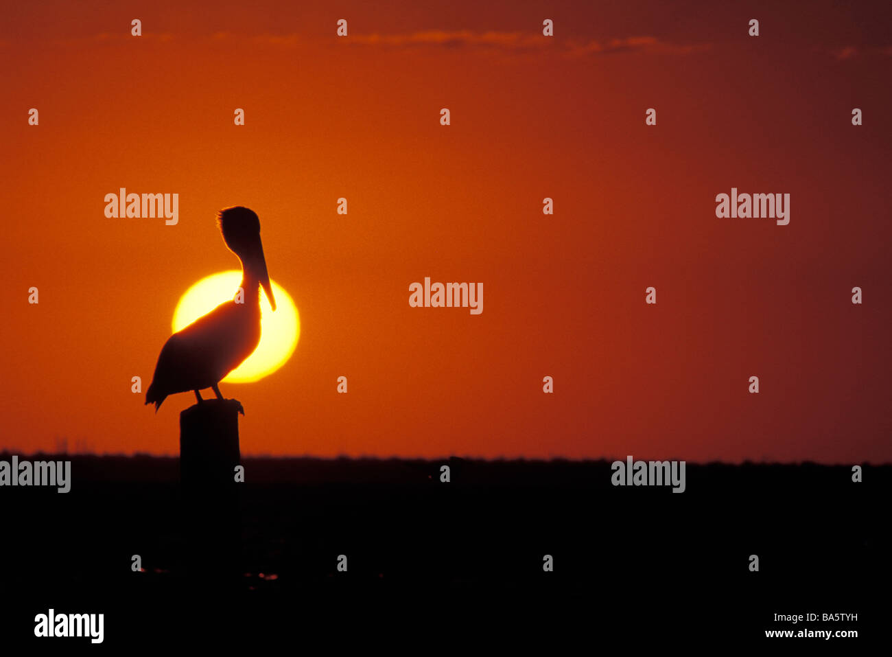 Pelican perching on post, Mexico - Stock Image