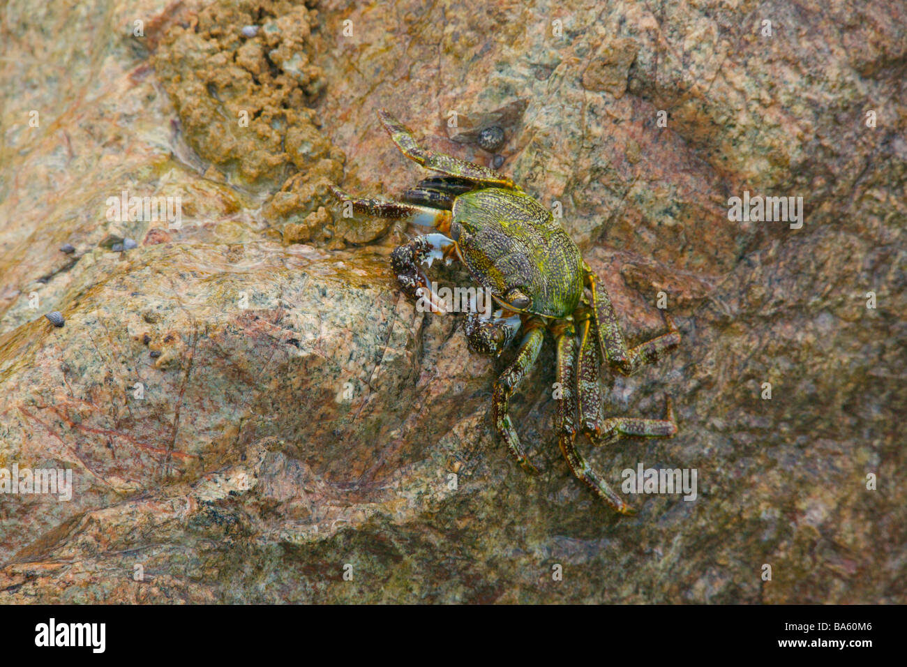 Jumping crab on a rock found in West Coast of Barbados beach near 'St. Lawrence Gap' - Stock Image
