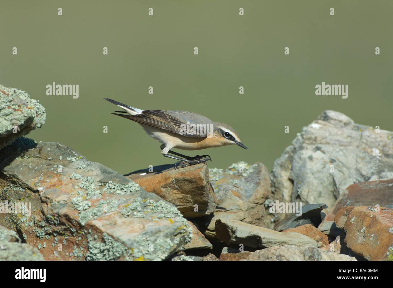 Wheatear Oenanthe oenanthe Extremadura Spain - Stock Image