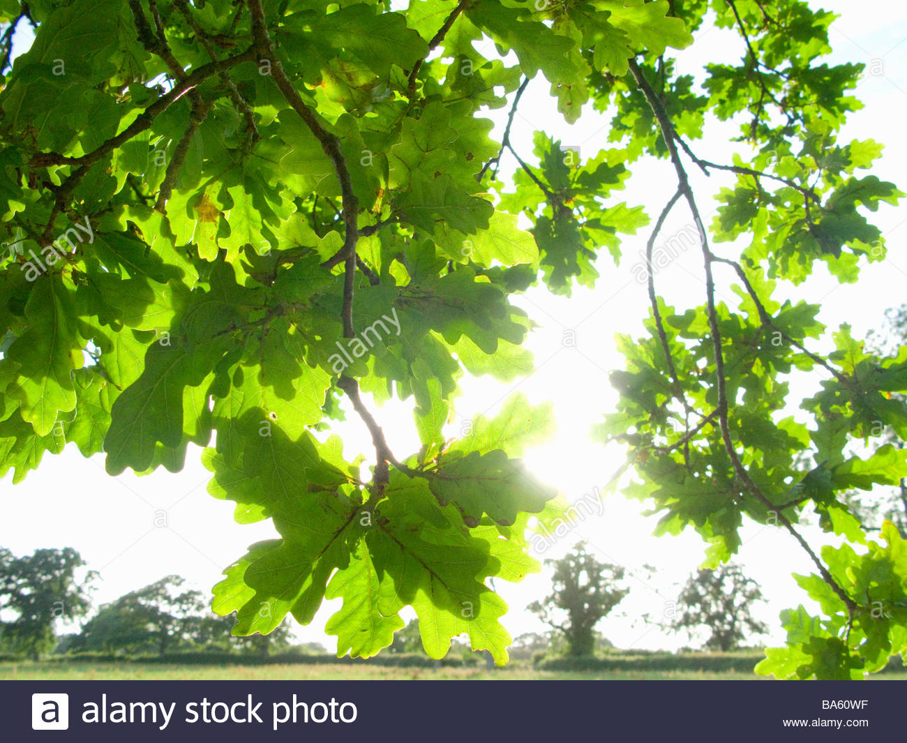 Oak Tree Leaves Stock Photos & Oak Tree Leaves Stock Images - Alamy