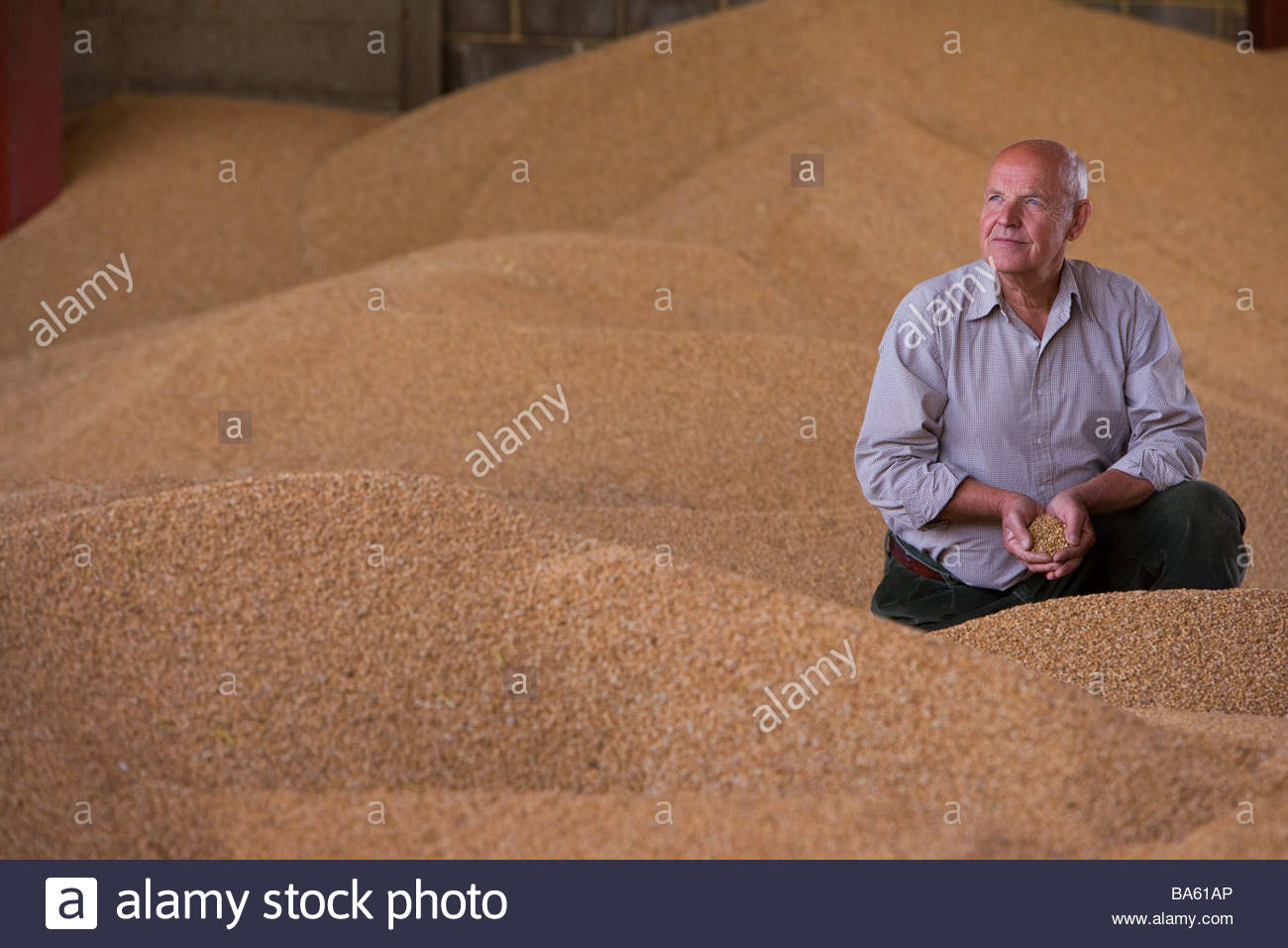Farmer cupping wheat grains on grain heap - Stock Image