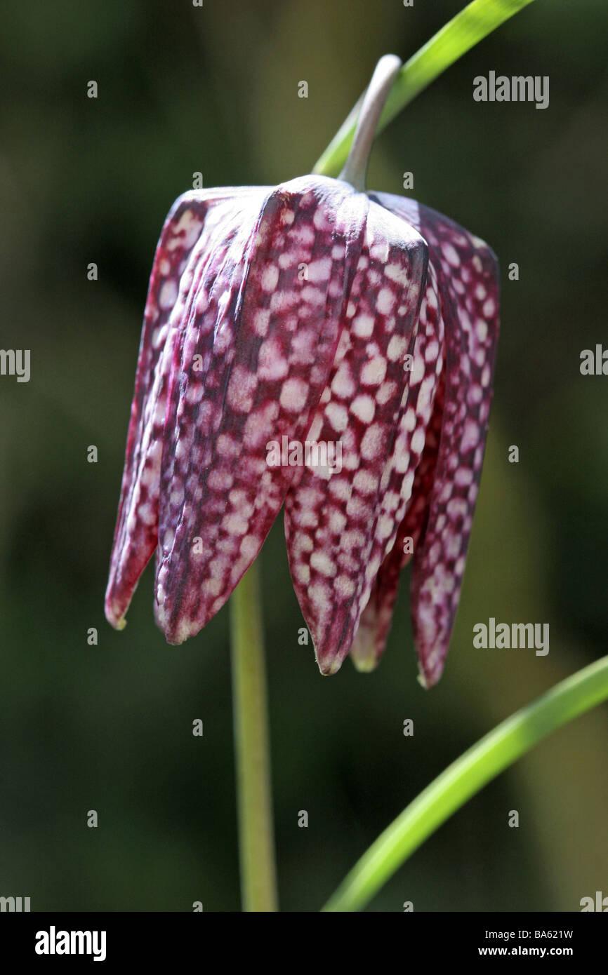 Fritillaria meleagris Fritullaria lutea Holtzbecher Schachblume B A1 02572