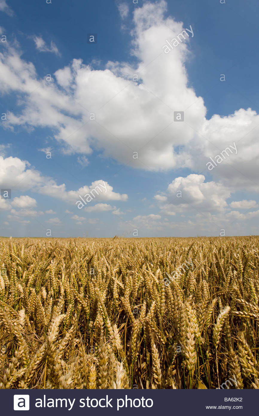 Clouds in blue sky over wheat field Stock Photo