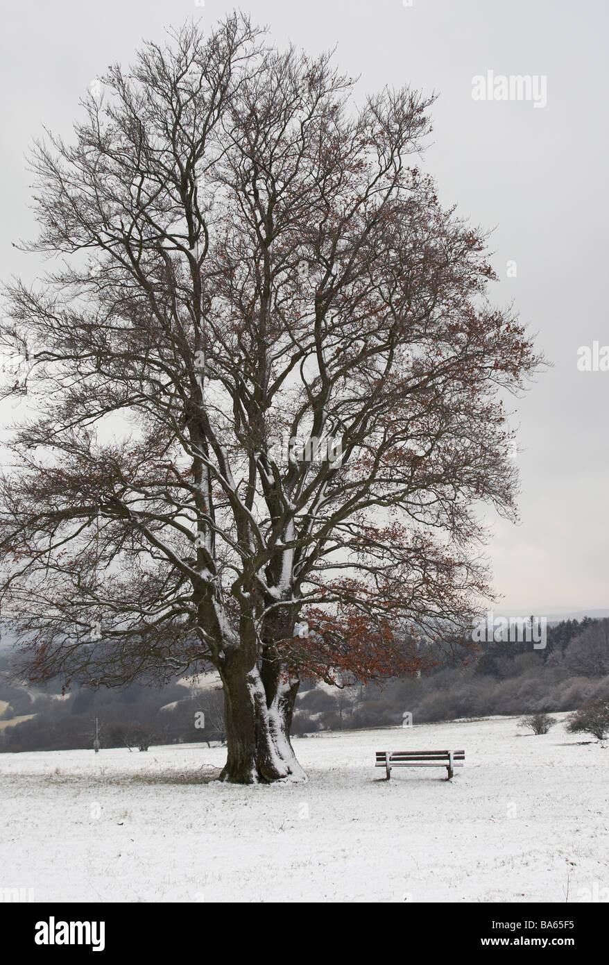 Beech in winter - Stock Image