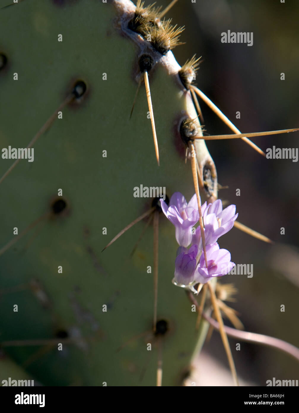 Small purple wildflowers blooming amongst the thorns of a Prickly Pear cactus in Arizona Allium atropurpureum - Stock Image
