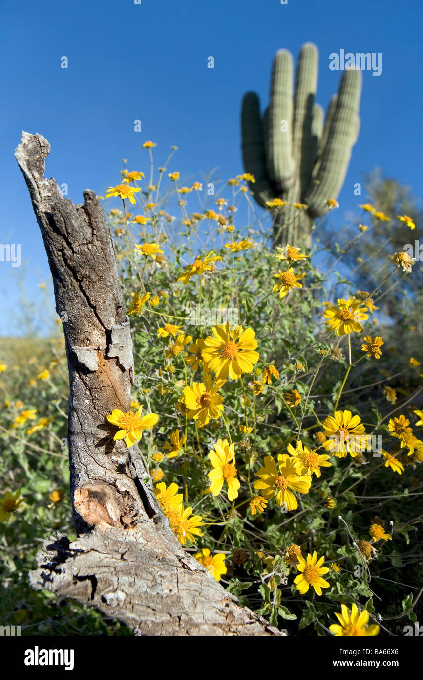 Encilia farinosa Brittle Bush is a member of the sunflower family These were blooming near a saguaro cactus in Arizona - Stock Image