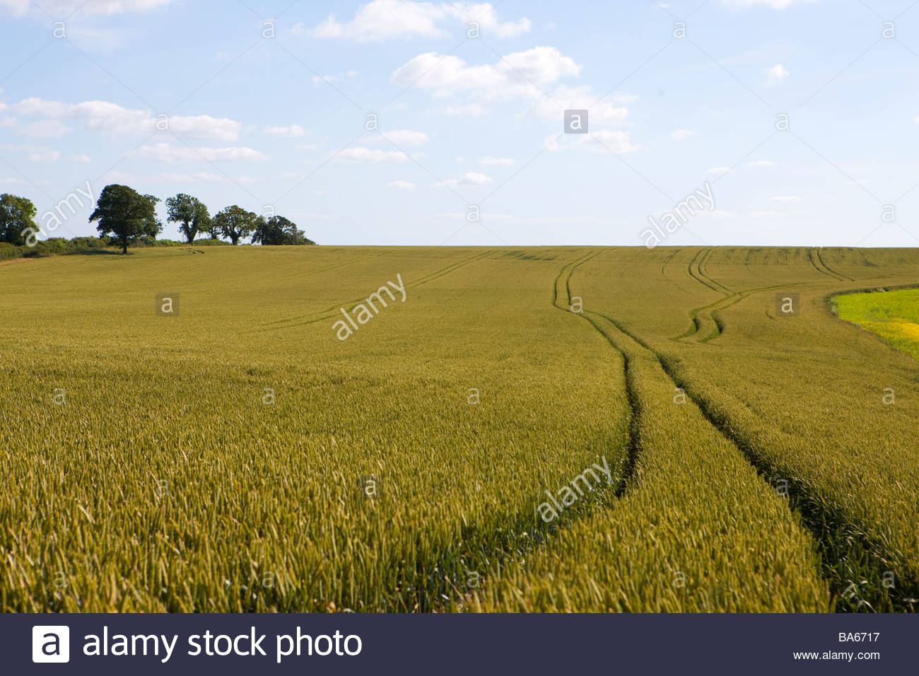 Tractor tracks in wheat field - Stock Image
