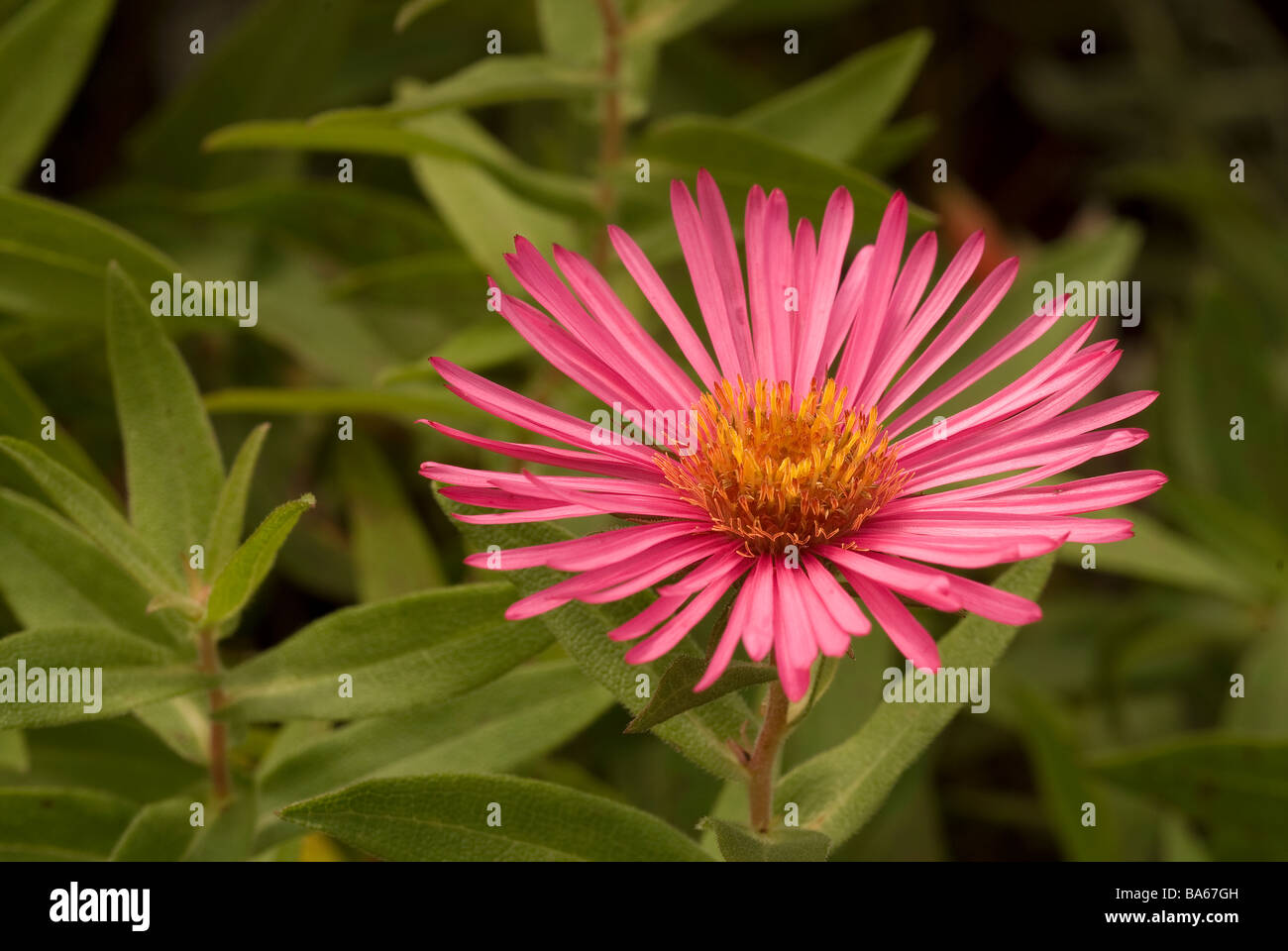 Aster novae angliae Rosa Sieger New England aster, Asteraceae - Stock Image
