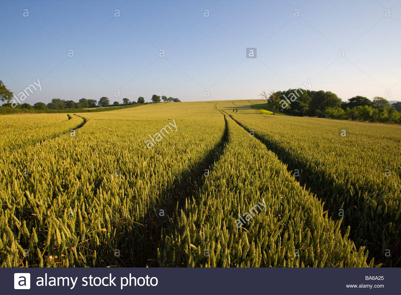 Tracks in wheat field - Stock Image