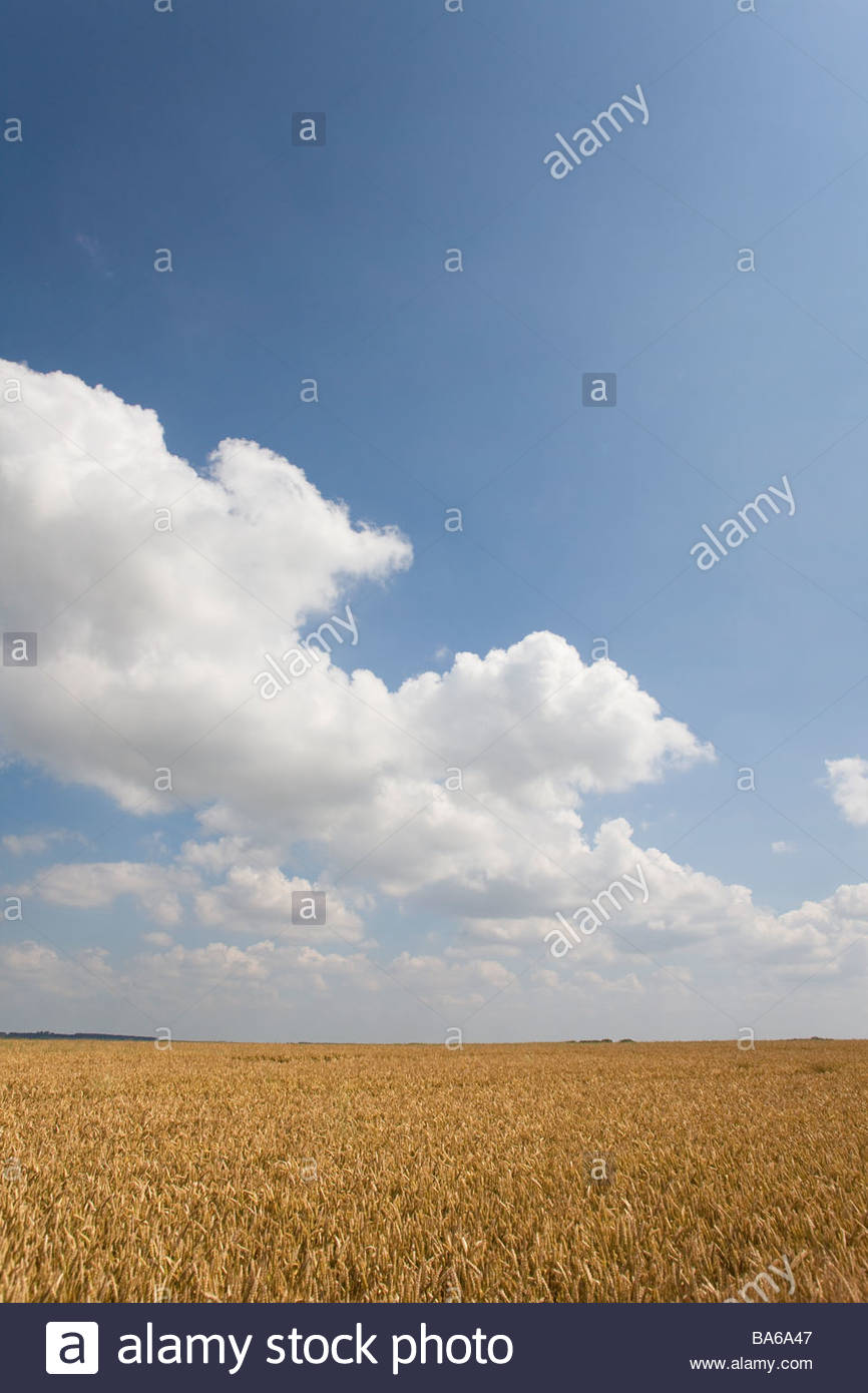 Clouds in blue sky over wheat field - Stock Image