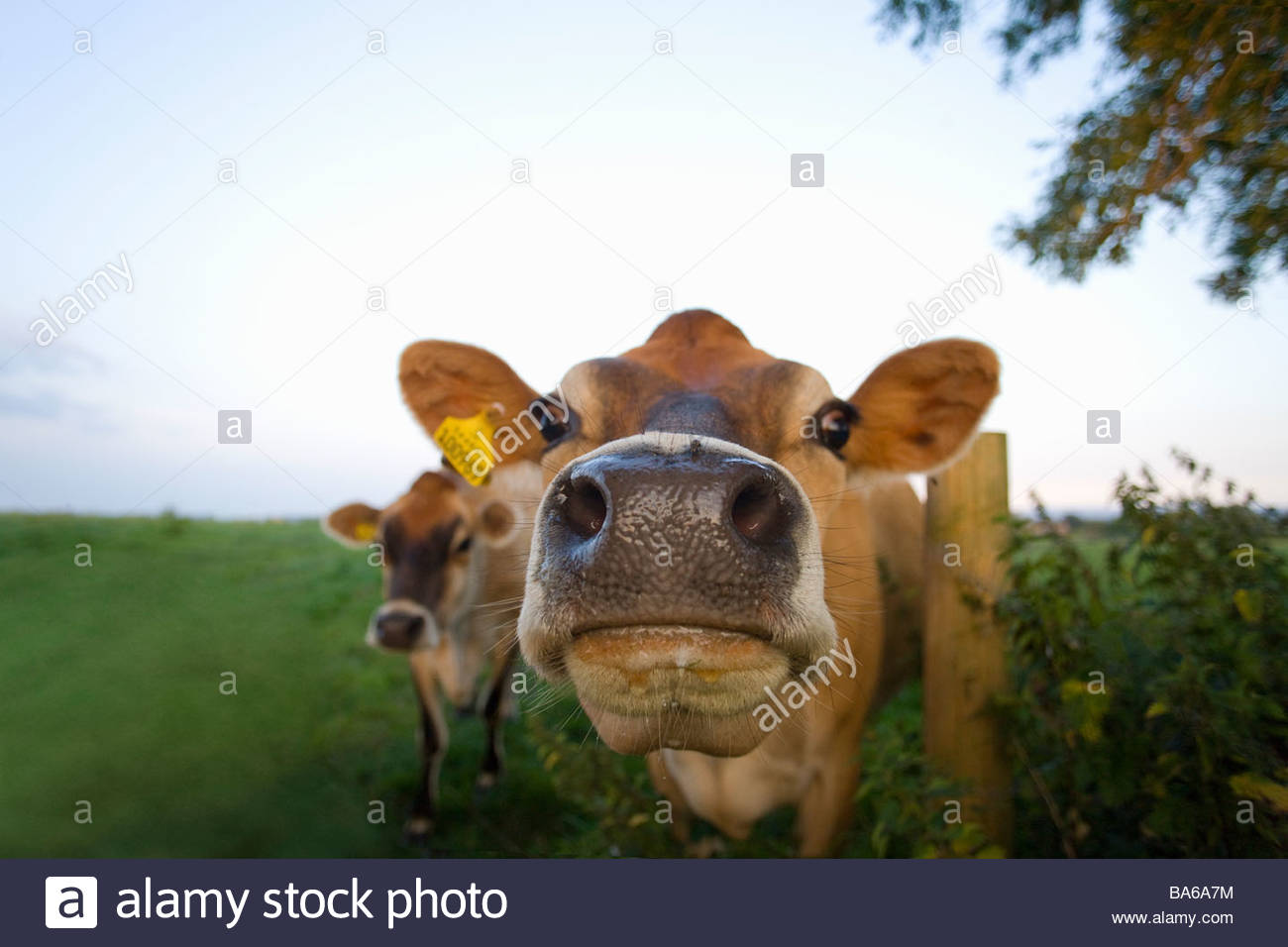 Close up of jersey cows in field - Stock Image
