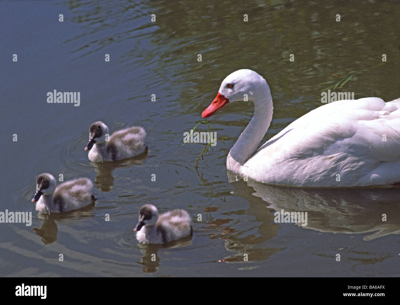 Coscoroba Swan on water with three young cygnets. - Stock Image
