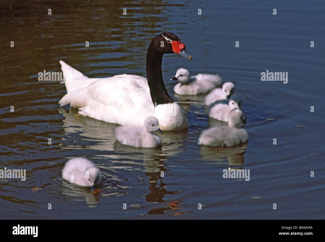Female Black-necked Swan on the water with six downy cygnets. - Stock Image