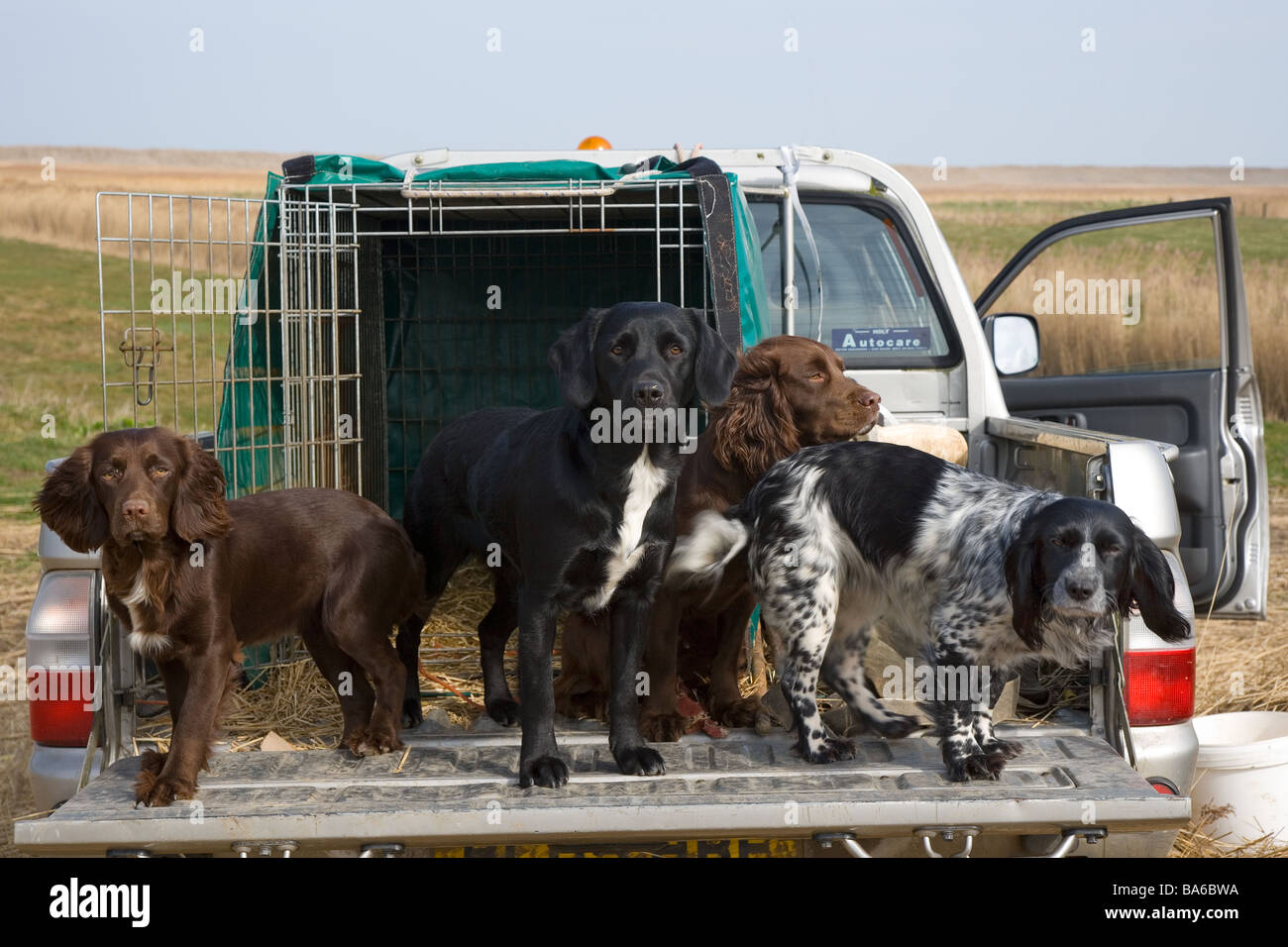 Working Dogs in 4X4 - Stock Image