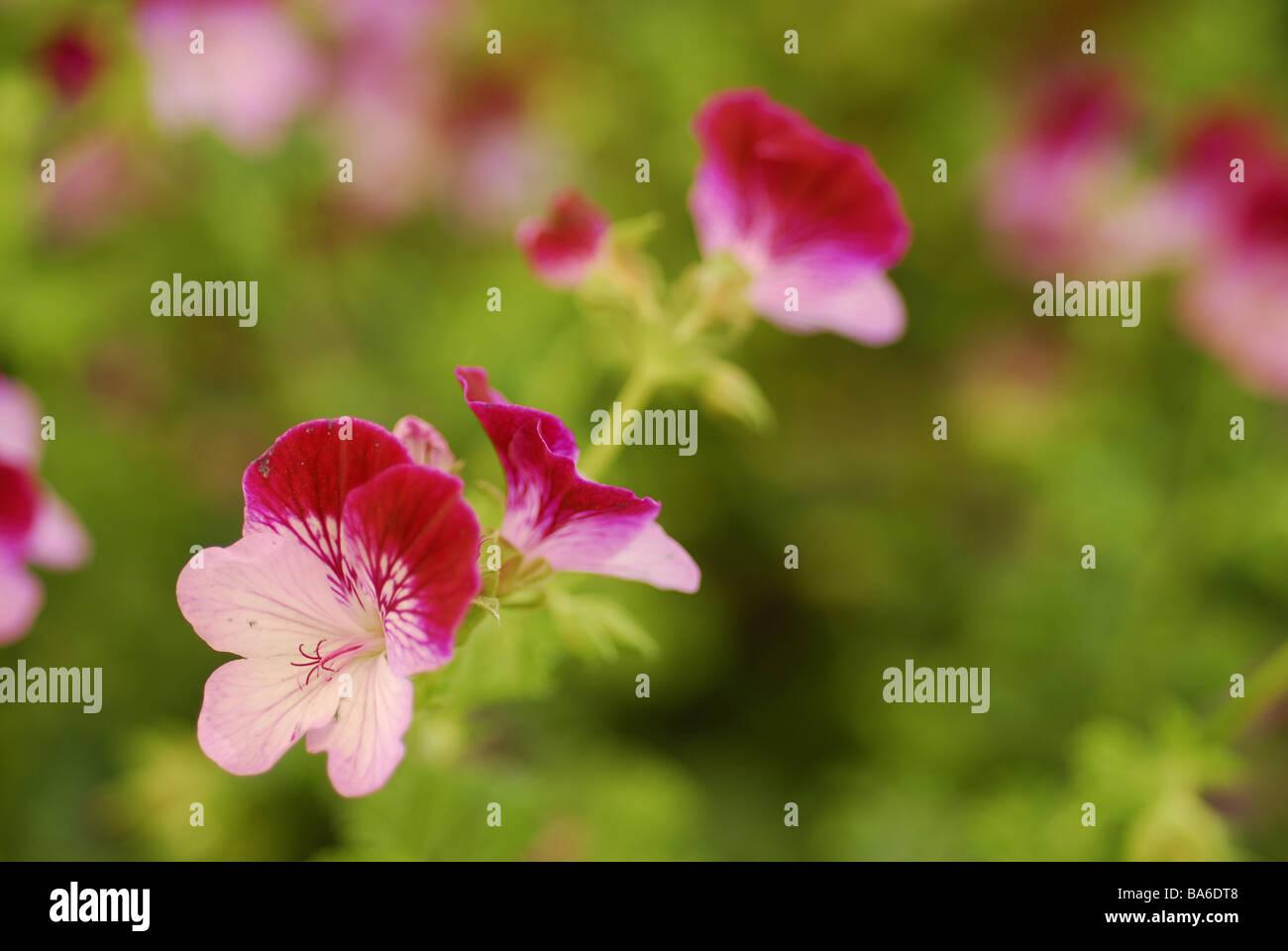 Pelargonium sp. 'Tip Top Duet' geranio, Geraniaceae - Stock Image