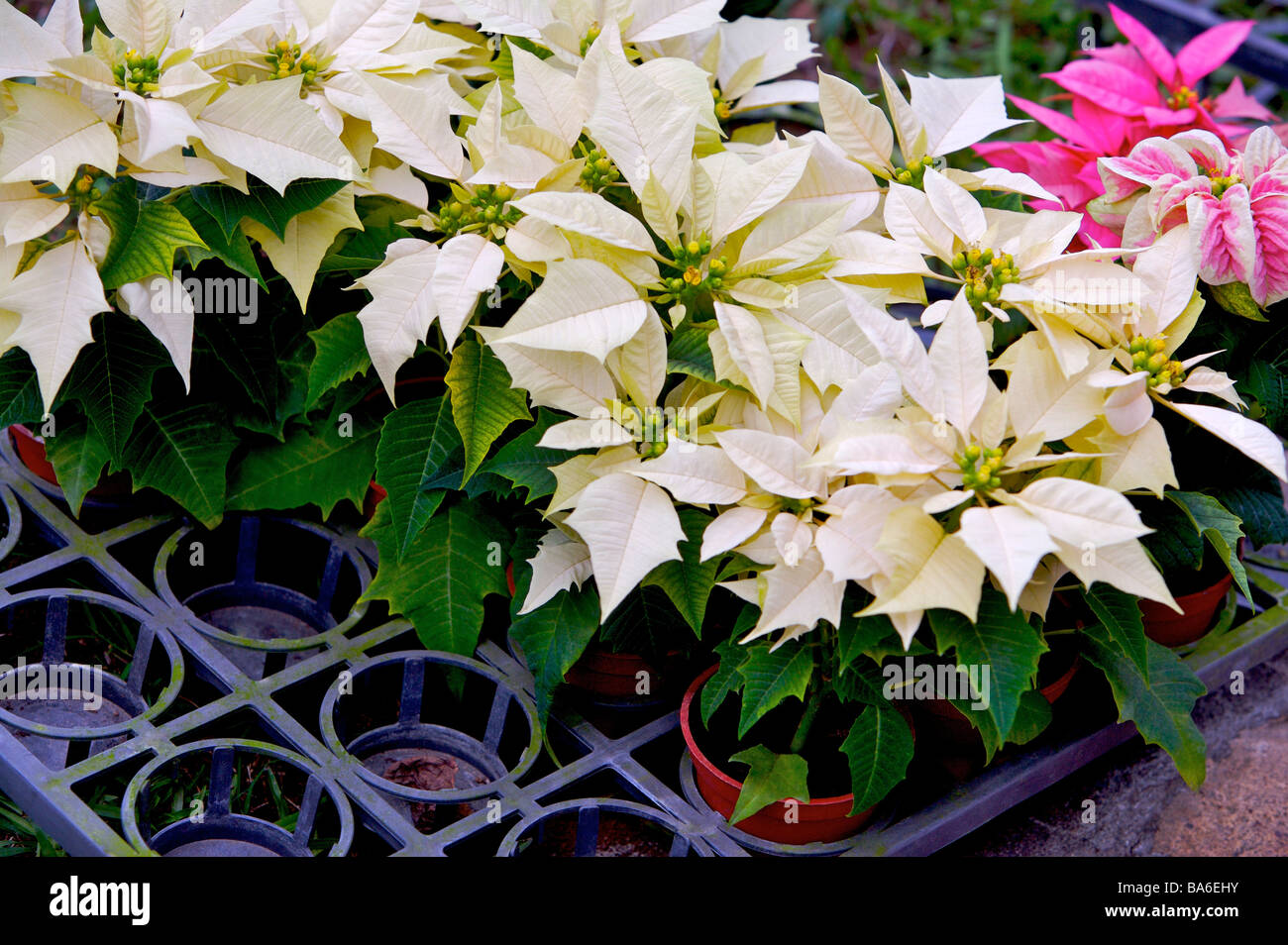 Multi Colored Poinsettia Stock Photos Multi Colored Poinsettia