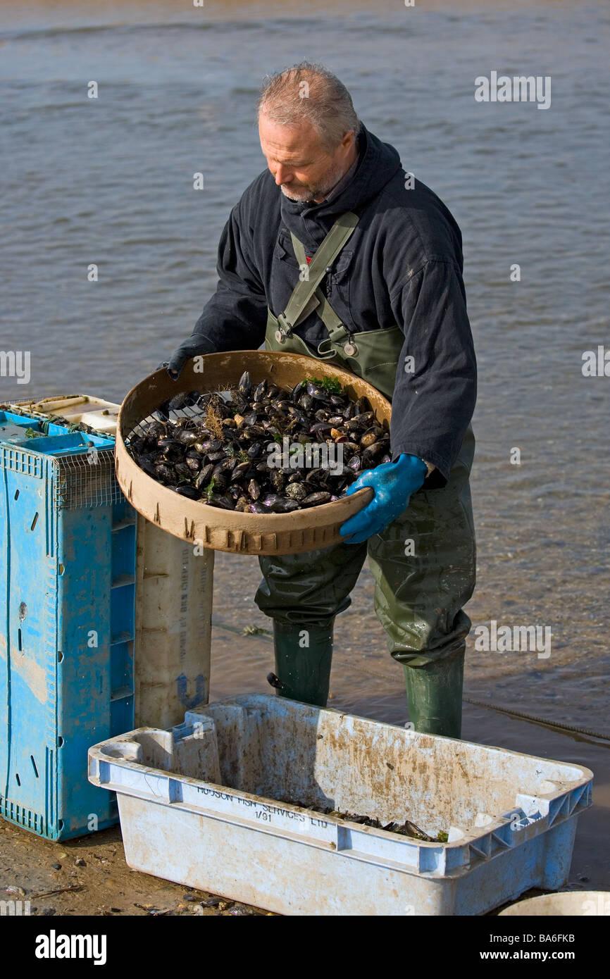 Grading Mussels in Blakeney Harbour Norfolk - Stock Image