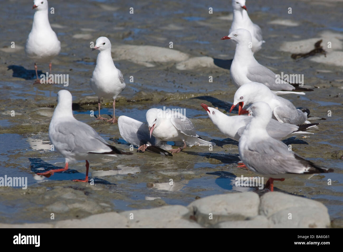 Red billed Gulls Larus novaehollandiae or Silver Gull New Zealand - Stock Image