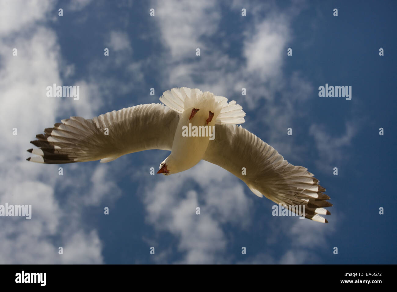 Red billed Gull Larus novaehollandiae or Silver Gull - Stock Image