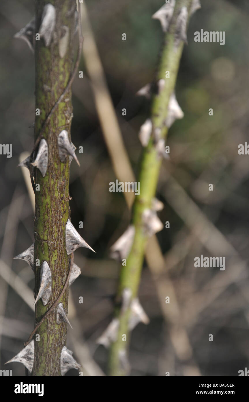 Thorny stems - Stock Image