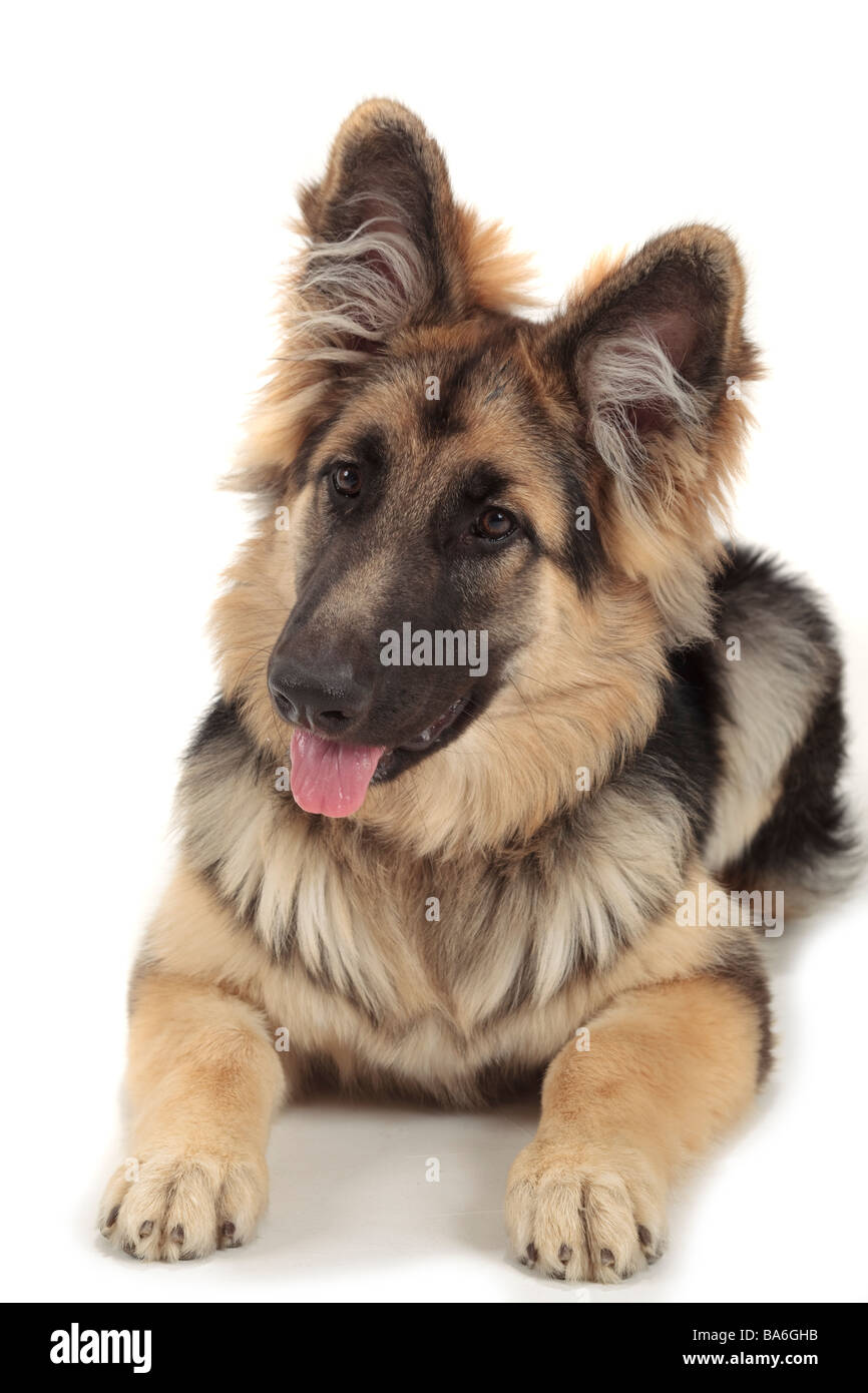 german shepherd alsatian dog laying down looking left with fluffy ears pricked up and tongue out, white background - Stock Image