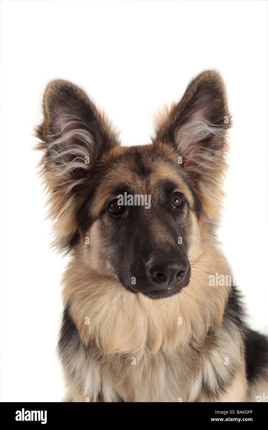 german shepherd alsatian dog head and shoulders sitting with large fluffy ears pricked up, white background - Stock Image