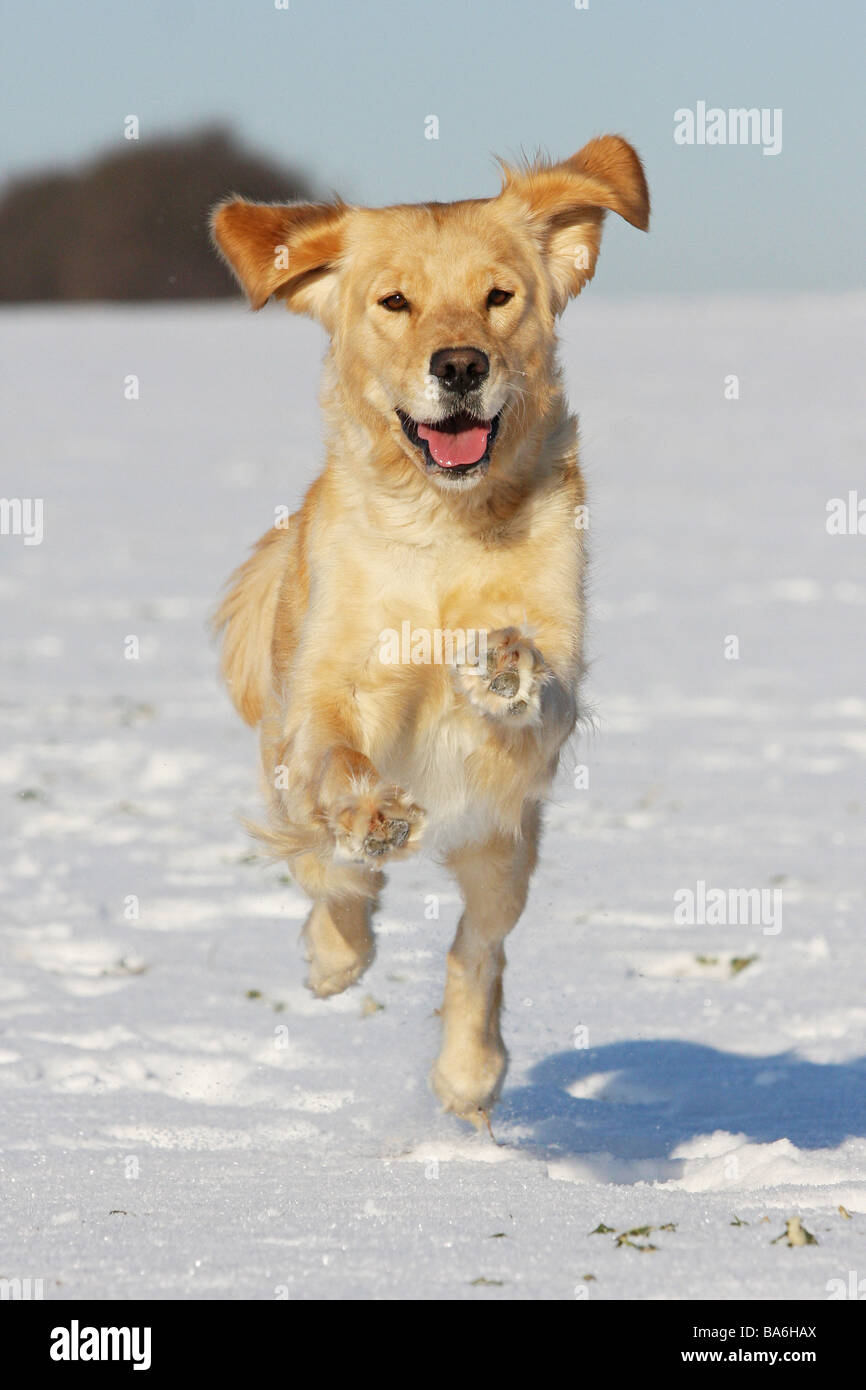 Golden Retriever dog - running in snow - Stock Image
