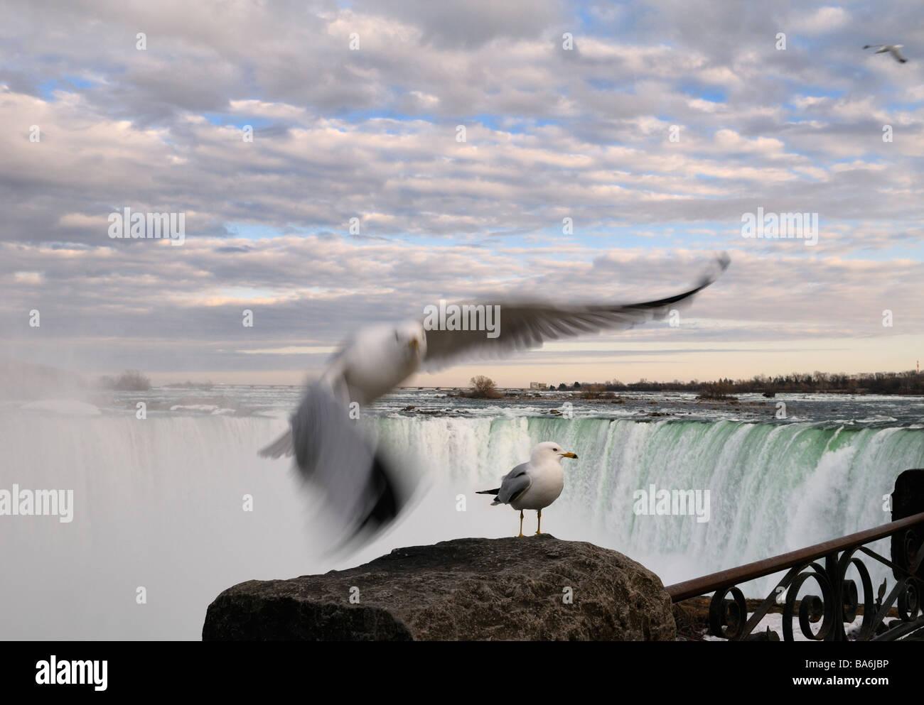 Flying and standing Ring Billed Gull at a rock beside Niagara Falls Canada at sundown - Stock Image