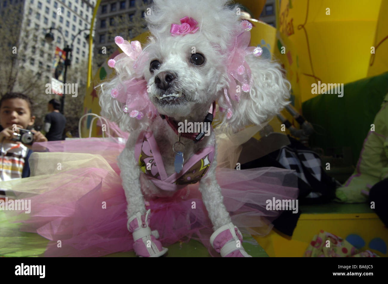 Hec Lin a toy poodle dressed as a ballerina with pink bows in her hair at the annual Macy s Petacular in Herald - Stock Image